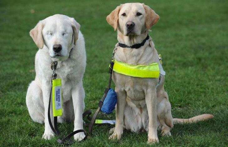 Това куче-водач губи зрението си. Това което прави стопанина му, ни изуми!