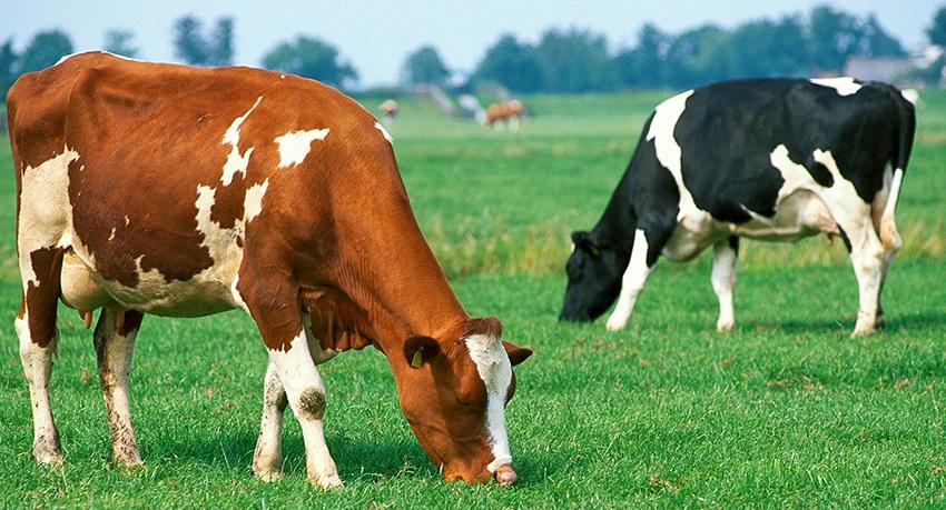 Животновъдството е основен поминък за 95% от жителите на велинградското село Кръстава