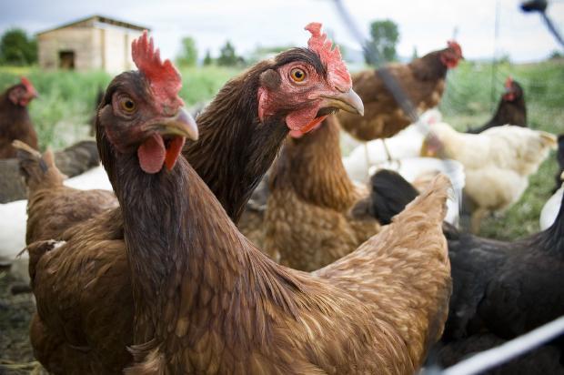 Ликвидираха над 2000 птици край Велинград
