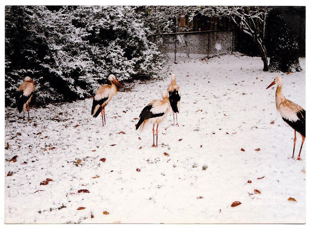 Щъркел през зимата – не е необичайно, но все пак сигнализирайте, съветват от Спасителния център