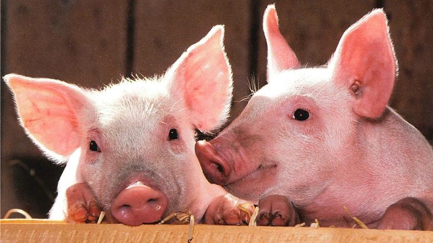 Засилени проверки на територията на цялата област от страна на полицията във връзка с предприетите превантивни мерки за ограничаване на Африканската чума по свинете.