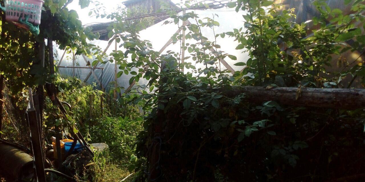 Ракитовски полицаи откриха и неутрализираха действаща наркооранжерия в Костандово.